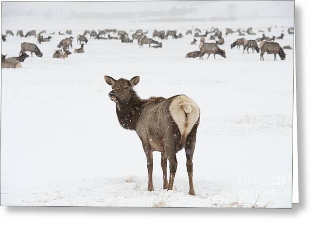 Grazing Snow Greeting Cards - The Gathering Greeting Card by Sandra Bronstein
