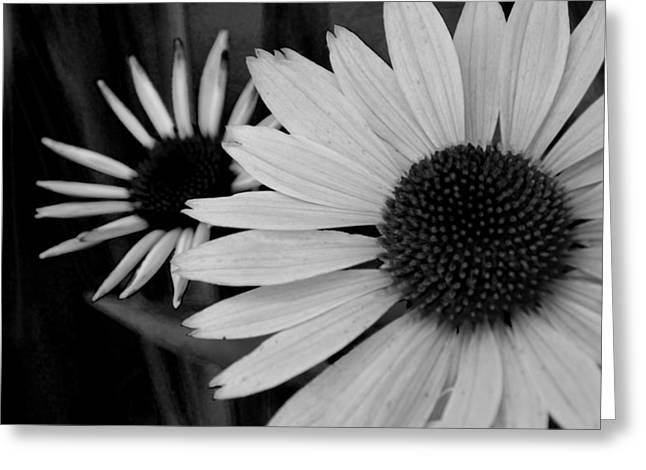 Huntsville Greeting Cards - The General Cone Flower Black and White Greeting Card by Lesa Fine