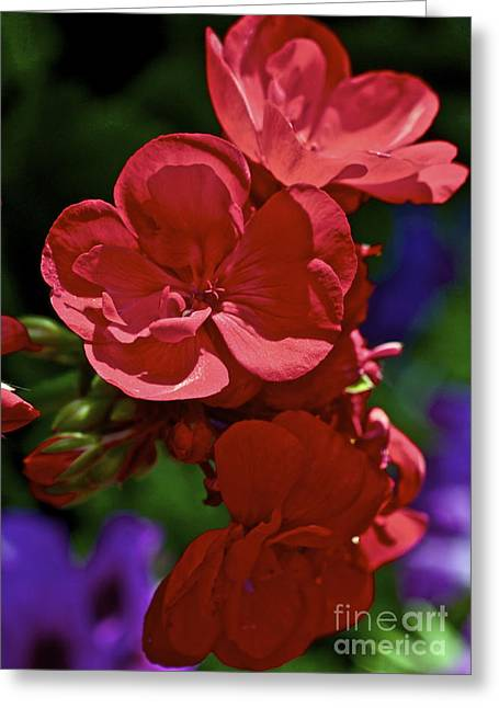 Geranium Flower Close Up Greeting Cards - The Geraniums Greeting Card by Gwyn Newcombe