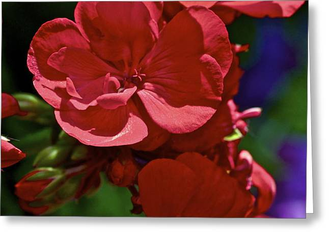 The Geraniums Greeting Card by Gwyn Newcombe