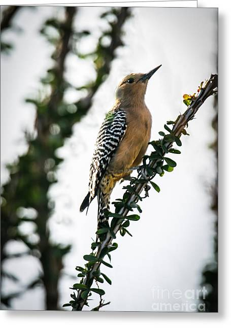 Haybale Greeting Cards - The Gila  Woodpecker Greeting Card by Robert Bales