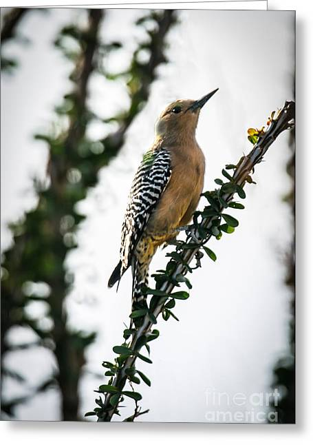 The Gila  Woodpecker Greeting Card by Robert Bales