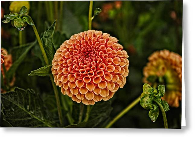 Dahlia Greeting Cards - The Golden Red Dahlia Greeting Card by Thom Zehrfeld