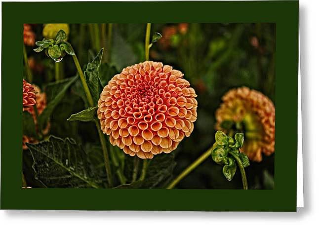 Dahlia Greeting Cards - Golden Red Dahlia Greeting Card by Thom Zehrfeld