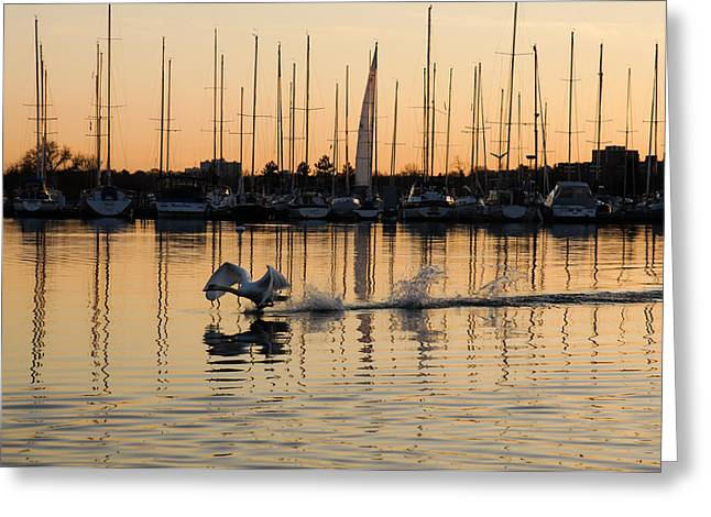 Swans... Greeting Cards - The Golden Takeoff - Swan Sunset and Yachts at a Marina in Toronto Canada Greeting Card by Georgia Mizuleva
