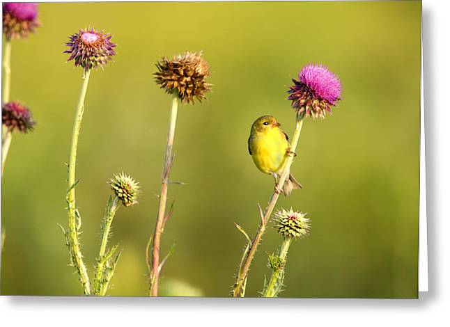 Southern Illinois Greeting Cards - The Goldfinch Greeting Card by Donna Caplinger