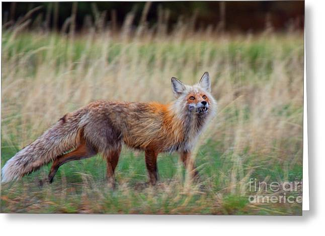 Photographs With Red. Greeting Cards - The Grateful Vixen Greeting Card by Jim Garrison