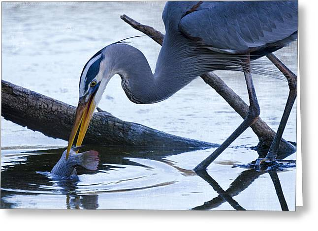 Great Birds Greeting Cards - The Great Blue Heron Dunk  Greeting Card by Saija  Lehtonen