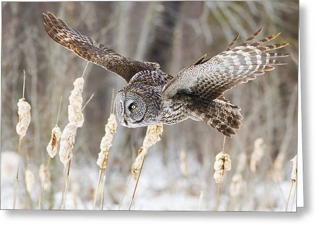 Beautiful Landing Greeting Cards - The Great Grey Hunter Greeting Card by Mircea Costina Photography