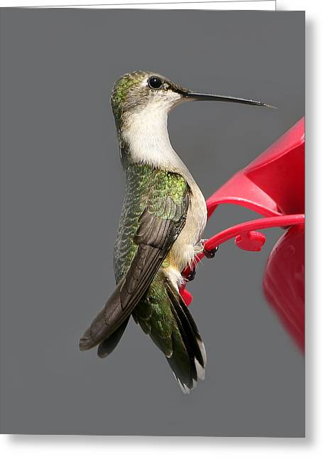 Migrating Hummingbird Greeting Cards - The Great Migrator Greeting Card by Beth Schultz Gagliano