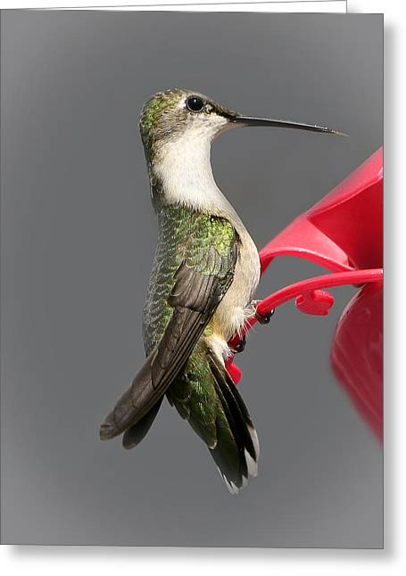 Migrating Hummingbird Greeting Cards - The Great Migrator White Greeting Card by Beth Schultz Gagliano