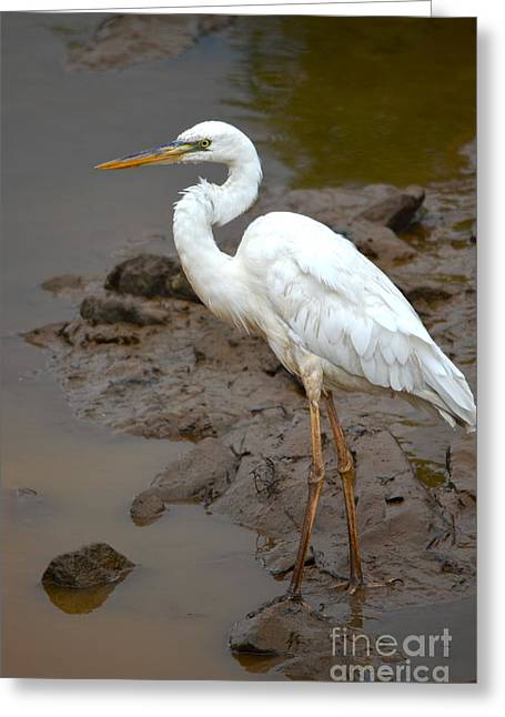 Morph Greeting Cards - The Great White Heron  Greeting Card by Kathy Gibbons