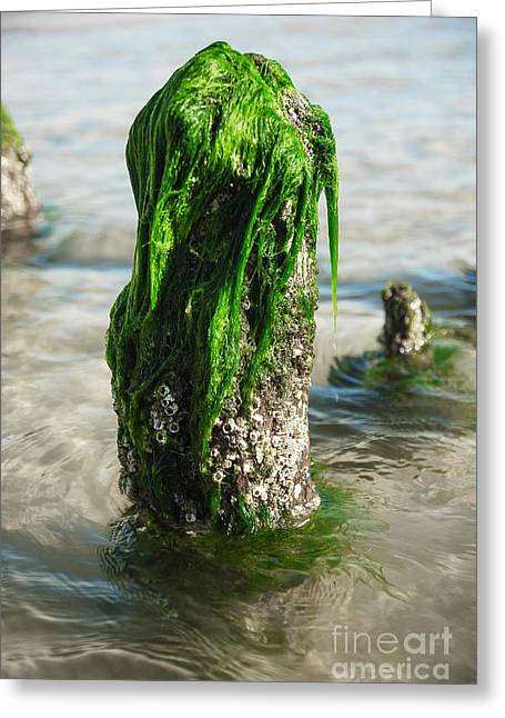 Algae Greeting Cards - The Green Jetty Greeting Card by Hannes Cmarits