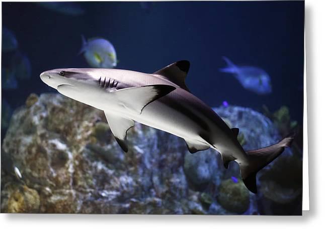 Predaceous Greeting Cards - The grey reef shark - Carcharhinus amblyrhynchos Greeting Card by Goyo Ambrosio