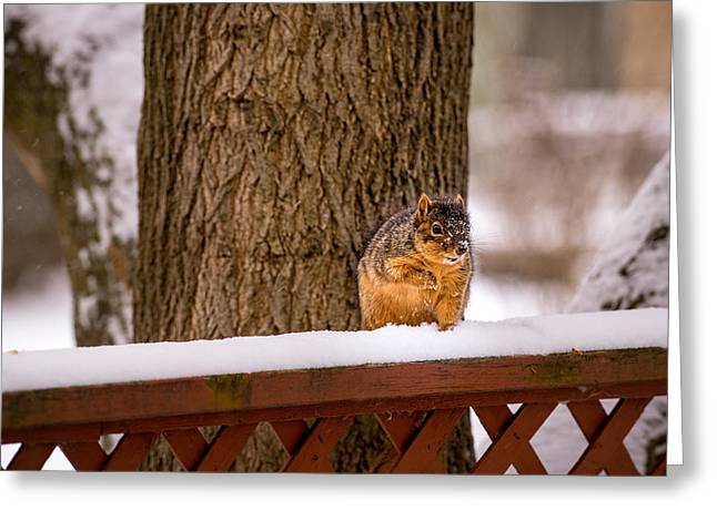 Sciurus Carolinensis Greeting Cards - The Grey Squirrel George in Winter Greeting Card by  Onyonet  Photo Studios