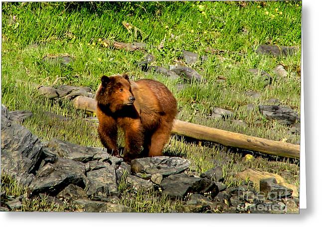 Alaska Panhandle Greeting Cards - The Grizzly Greeting Card by Robert Bales