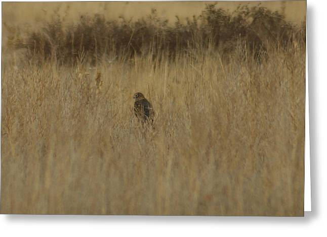 Redtail Hawks Greeting Cards - The Hawk 2 Greeting Card by Ernie Echols