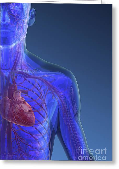 Digital Artery Greeting Cards - The Heart And Blood Vessels Of The Chest Greeting Card by Science Picture Co