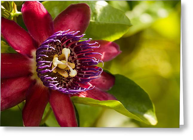 Passion Fruit Greeting Cards - The Heart of a Passion Fruit Flower Greeting Card by Andres Leon