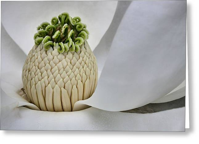 Magnolia Grandiflora Greeting Cards - The Heart of Mississippi Greeting Card by JC Findley