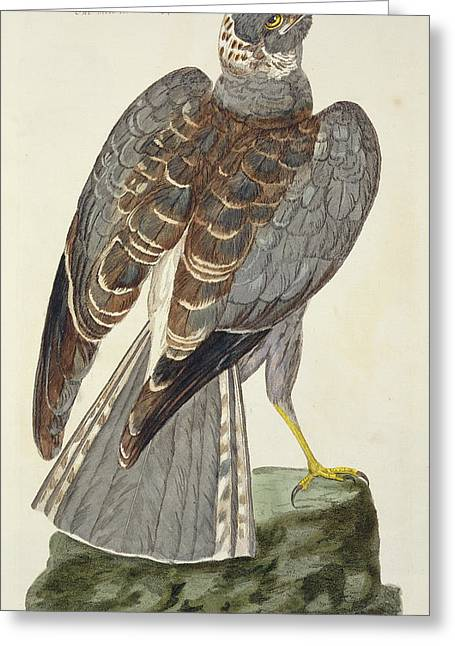 Saint-martin Greeting Cards - The Hen Harrier Plate From The British Greeting Card by Peter Paillou