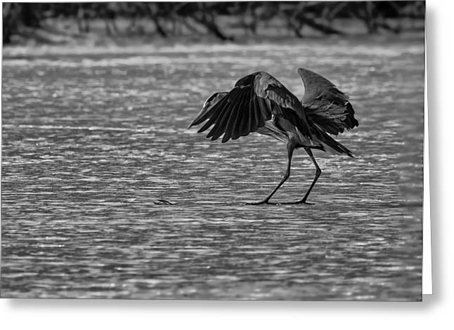 Photos Of Birds Greeting Cards - The Heron and the Fish Greeting Card by Thomas Young