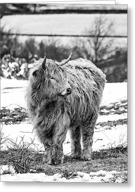 Country Woolies Greeting Cards - The Highland Cow Black And White Greeting Card by Linsey Williams