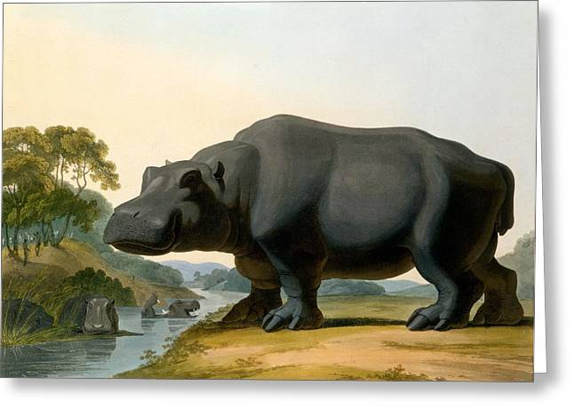 Hippos Greeting Cards - The Hippopotamus, 1804 Greeting Card by Samuel Daniell