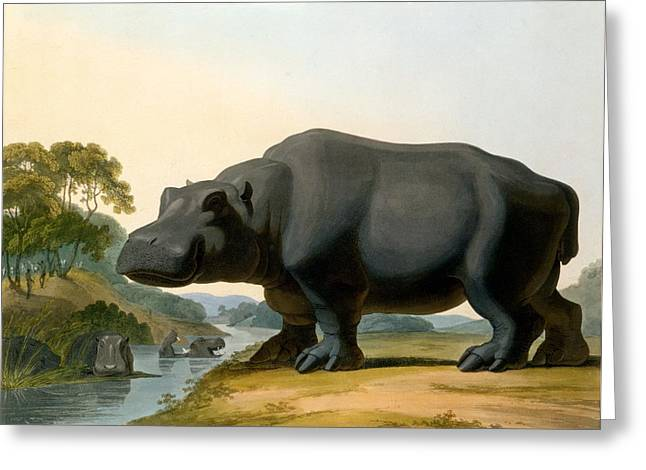 The Hippopotamus, 1804 Greeting Card by Samuel Daniell