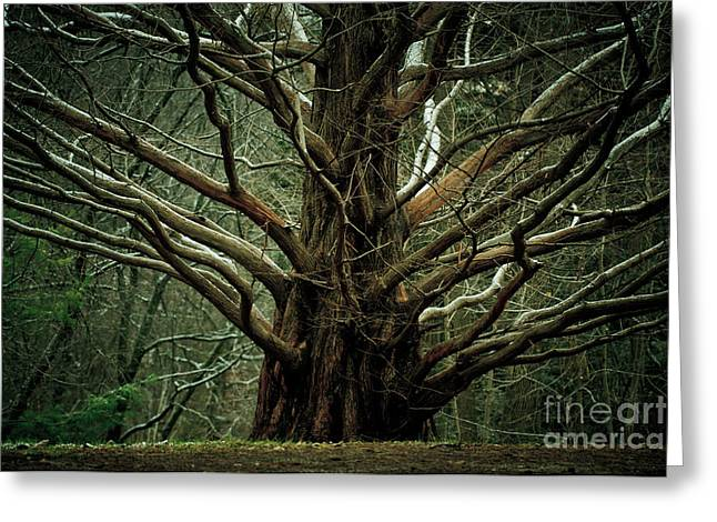 Gnarly Greeting Cards - The Hobbit Tree Greeting Card by Mary  Smyth