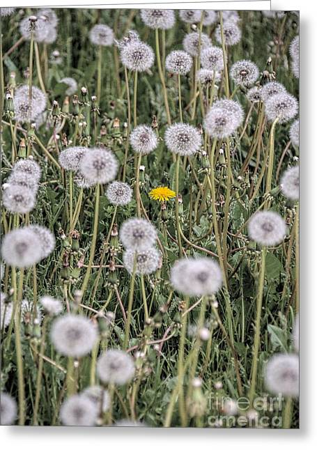 Strong Will Greeting Cards - The Holdout 2 - Dandelion Greeting Card by Henry Kowalski