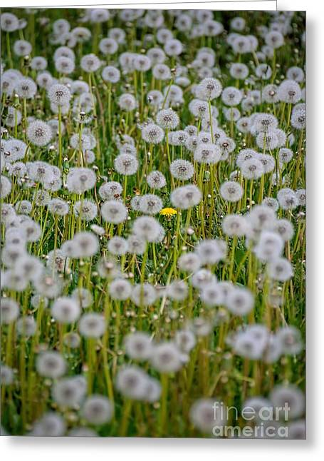 Strong Will Greeting Cards - The Holdout - Dandelion Greeting Card by Henry Kowalski