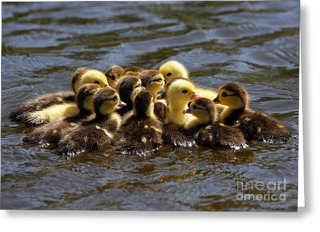 Muscovy Greeting Cards - The Huddle Greeting Card by Sabrina L Ryan