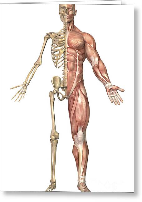 Tibia Greeting Cards - The Human Skeleton And Muscular System Greeting Card by Stocktrek Images