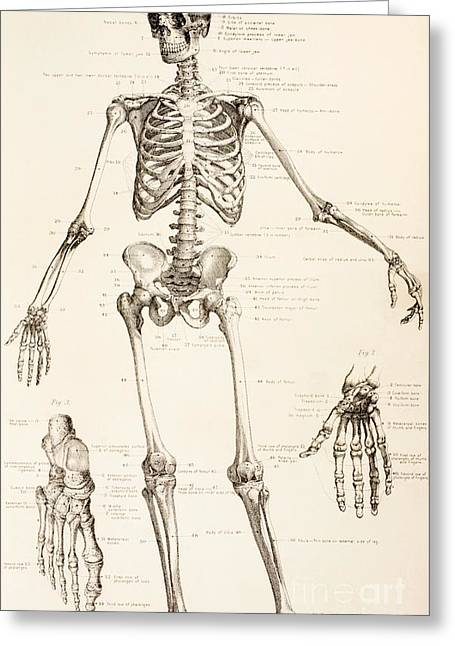 Texting Drawings Greeting Cards - The Human Skeleton Greeting Card by English School