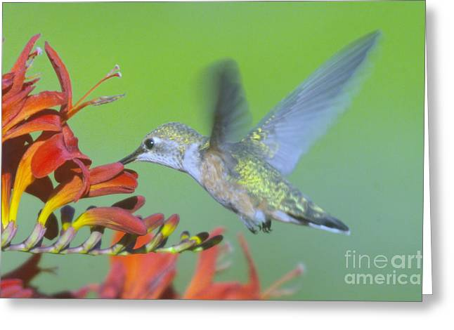 Migratory Bird Greeting Cards - The Humming Bird Sips  Greeting Card by Jeff  Swan