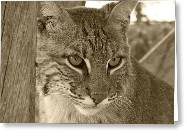 Bobcats Photographs Greeting Cards - The Hunter - Sepia Greeting Card by Jennifer  King