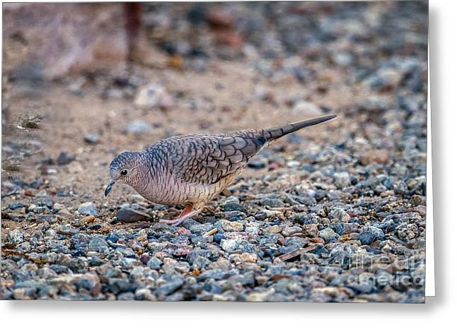 Haybale Greeting Cards - The Inca Dove Greeting Card by Robert Bales