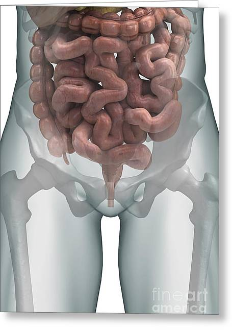 Abdominals Greeting Cards - The Intestines Greeting Card by Science Picture Co