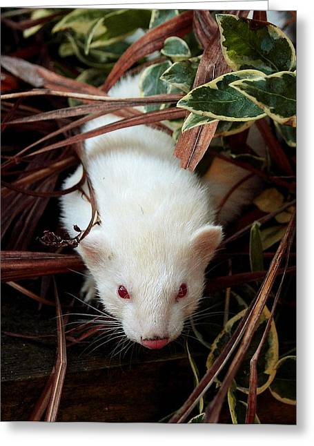 White Ferret Greeting Cards - The Investigator Greeting Card by Nigel Espley