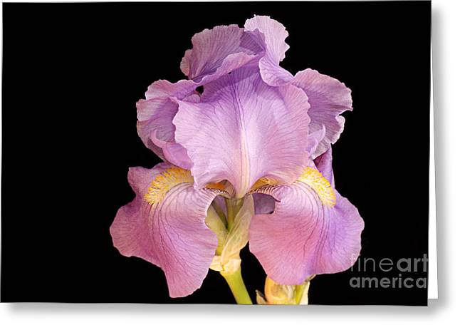 Pinks And Purple Petals Photographs Greeting Cards - The Iris In All Her Glory Greeting Card by Andee Design
