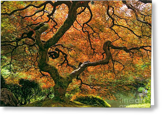 Pictures Of Trees Greeting Cards - The Japanese Maple Greeting Card by Timm Chapman