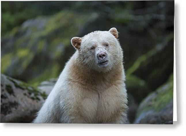 Rare Fish Greeting Cards - The Kermode or Spirit Bear Greeting Card by Bill Cubitt