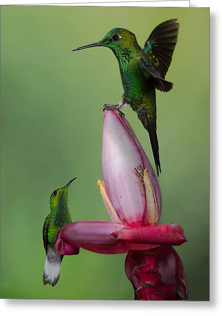 Coppery Greeting Cards - The king of the flower Greeting Card by Chris Jimenez