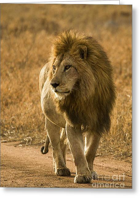 Lions Greeting Cards - The King Greeting Card by Sharon Ely