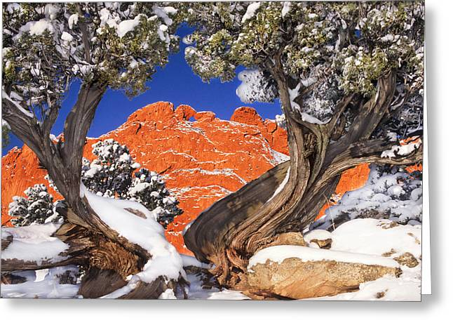 Garden Scene Greeting Cards - The Kissing Camels Framed by An Ancient  Juniper Greeting Card by Bijan Pirnia