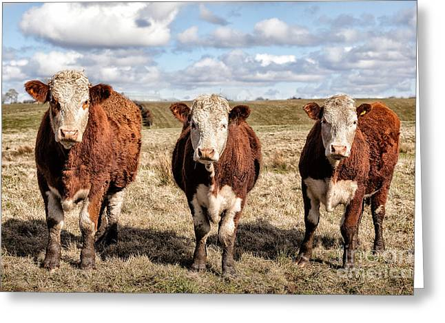 The Ladies Three Colourful Cows Greeting Card by John Farnan