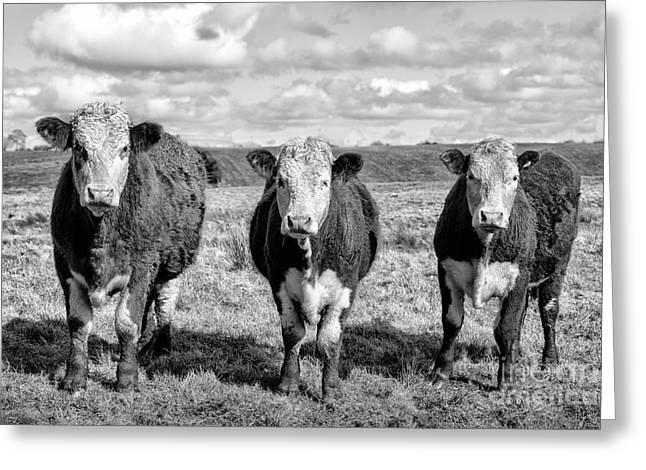 Cow Photographs Greeting Cards - The ladies three cows Greeting Card by John Farnan
