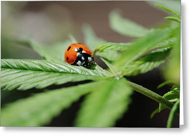 The Ladybug And The Cannabis Plant Greeting Card by Stock Pot Images