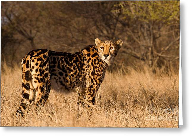 Confident Cat Greeting Cards - The Ladys A King Greeting Card by Ashley Vincent
